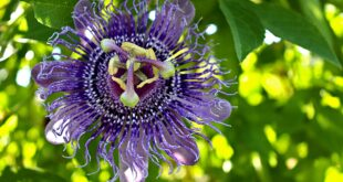 plant-passionflower-herbs-plant
